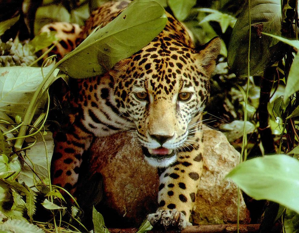 The Patron's Wife Jaguar